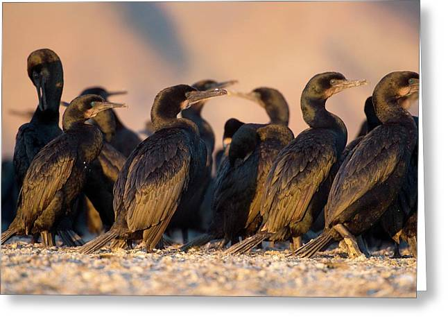 Brandt's Cormorants Greeting Card by Christopher Swann