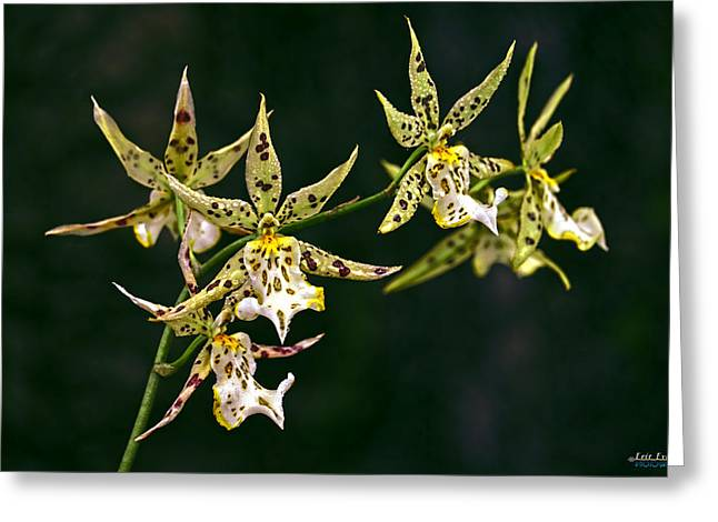 Greeting Card featuring the photograph Brassidium Orchids by Aloha Art