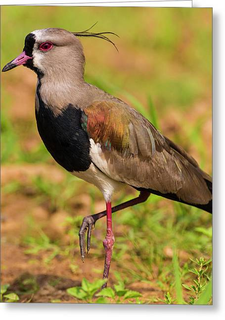 Brazil A Southern Lapwing (vanellus Greeting Card