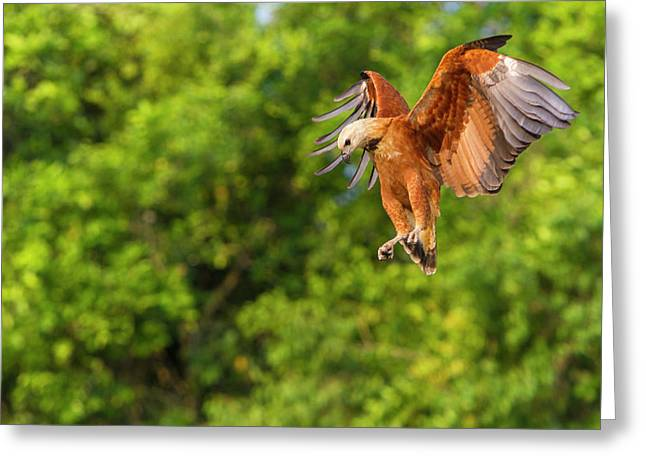 Brazil Black-collared Hawk (busarellis Greeting Card