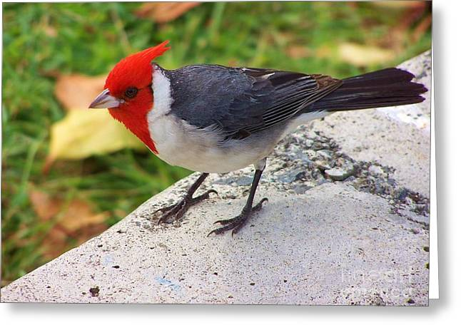 Brazilian Red Capped Cardinal Greeting Card by Brigitte Emme