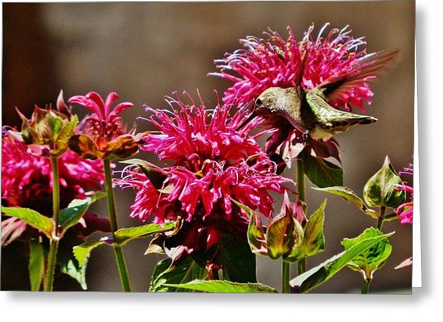 Greeting Card featuring the photograph Breakfast At The Bee Balm by VLee Watson