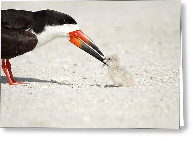 Black Skimmer And Chick. Greeting Card