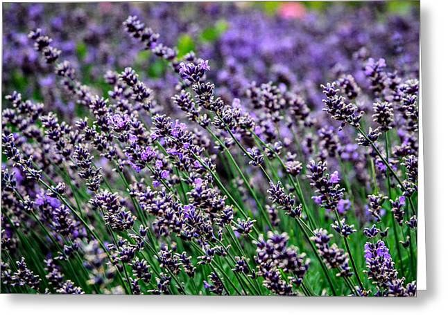 Breath Of Lavender Greeting Card by CarolLMiller Photography