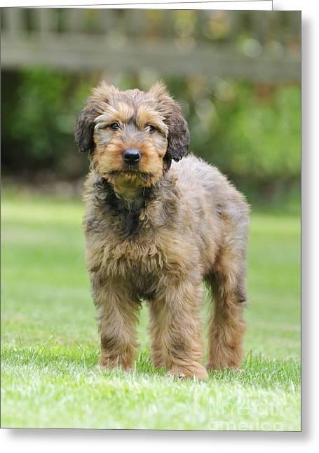 Briard Puppy On Grass Greeting Card by John Daniels