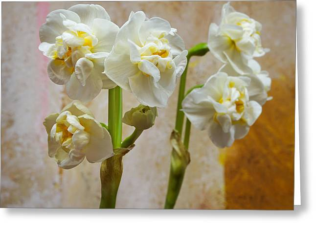 Bridal Crown Narcissus Double Greeting Card