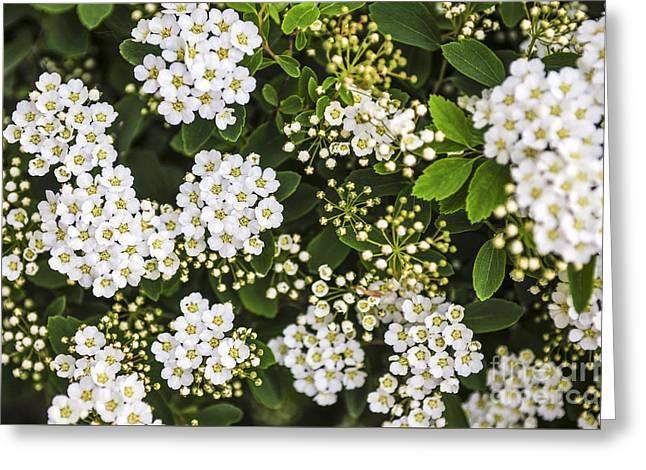 Bridal Wreath Flowers Greeting Card by Elena Elisseeva