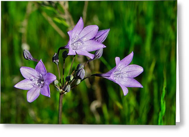 Greeting Card featuring the photograph Bridges' Triteleia by Jim Thompson