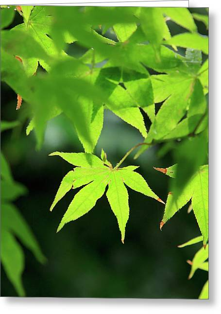 Bright Green Japanese Maple Trees Greeting Card by Paul Dymond
