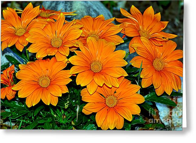 Bright Orange Daisy Garden By Kaye Menner Greeting Card