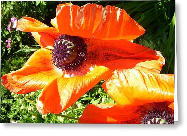 Bright Orange Poppy Greeting Card