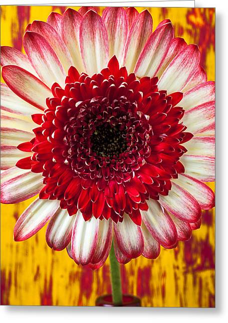 Bright Red And White Mum Greeting Card by Garry Gay