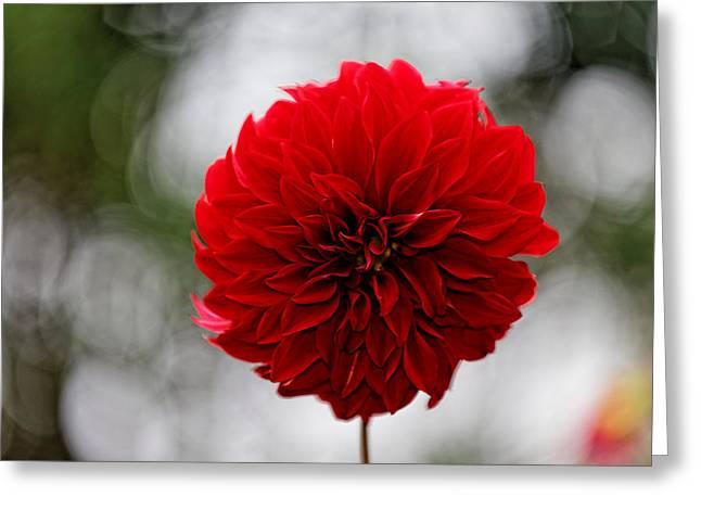 Bright Red Dahlia Greeting Card