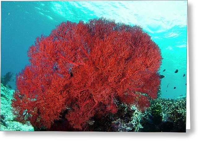 Bright Red Sea Fan Greeting Card