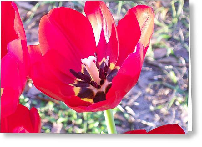 Greeting Card featuring the photograph Bright Red Tulip by Belinda Lee