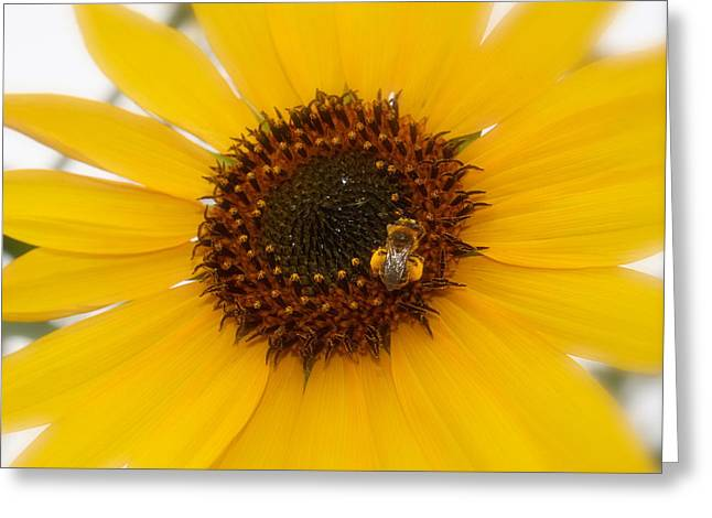 Greeting Card featuring the photograph Vibrant Bright Yellow Sunflower With Honey Bee  by Jerry Cowart