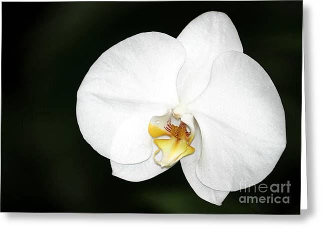 Bright White Orchid Greeting Card by Sabrina L Ryan