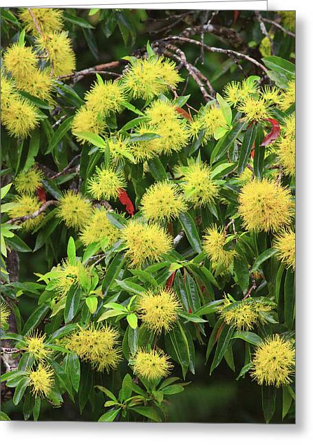 Bright Yellow Wattle Flowers Bloom Greeting Card by Paul Dymond