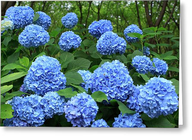 Brightly Colored Hydrangea Flowers Greeting Card by Paul Dymond