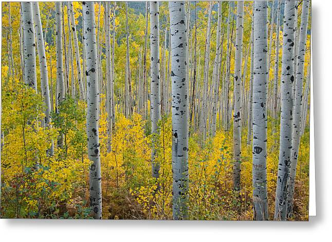 Brilliant Colors Of The Autumn Aspen Forest Greeting Card
