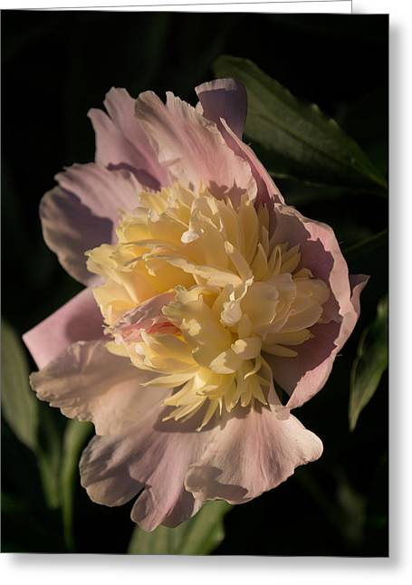 Brilliant Spring Sunshine - A Showy Pink Peony From My Garden Greeting Card by Georgia Mizuleva