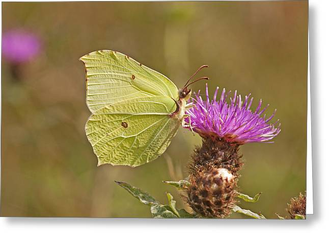 Brimstone On Creeping Thistle Greeting Card