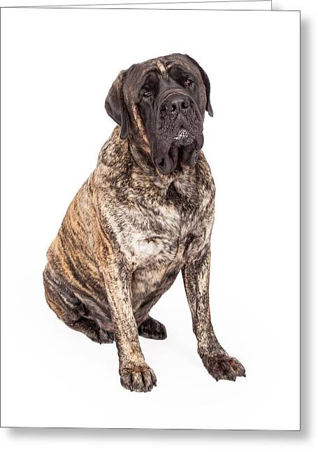 Brindle English Mastiff Dog Sitting Greeting Card