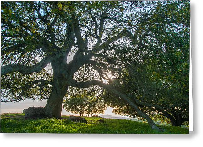 Briones Oak Greeting Card