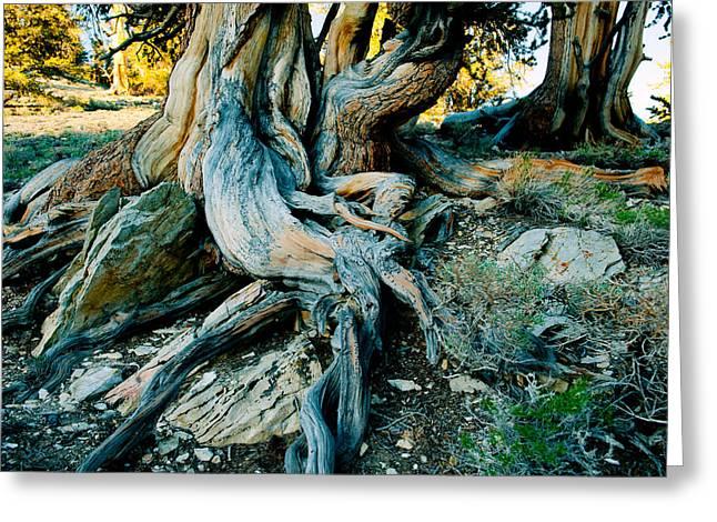 Bristlecone Pine Grove At Ancient Greeting Card