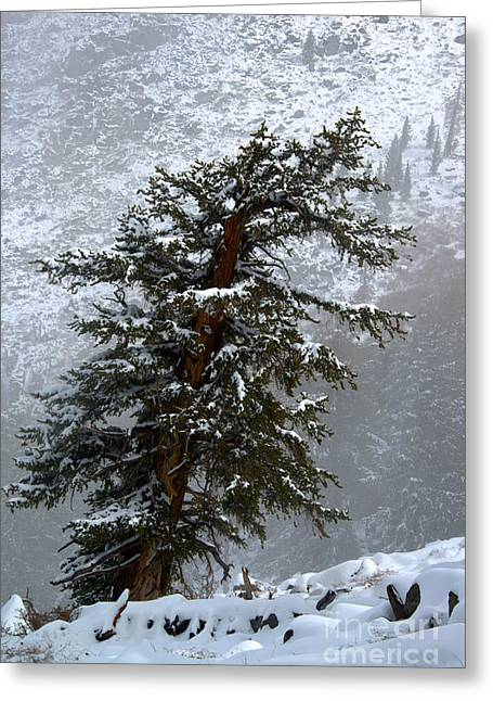 Bristlecone Pine In Snow Greeting Card by Jane Axman