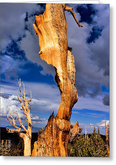 Bristlecone Pine Trees Pinus Longaeva Greeting Card by Panoramic Images