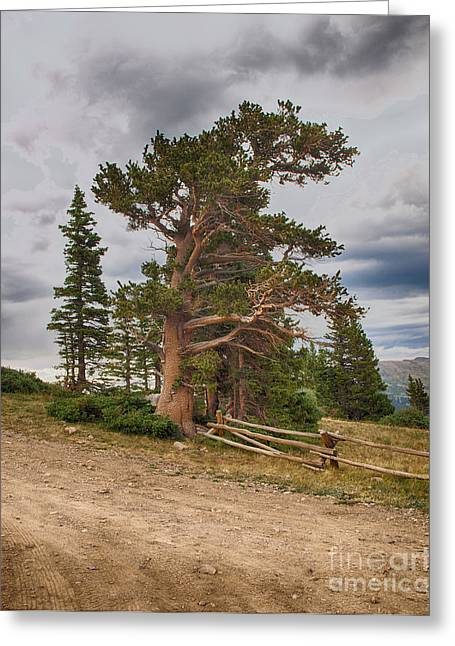 Bristlecone Pines Greeting Card