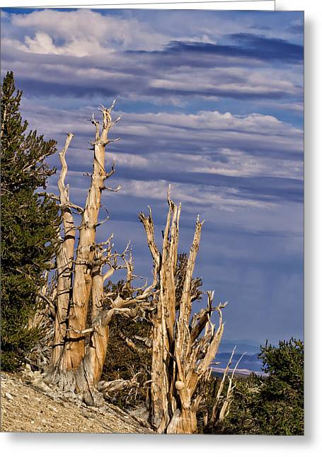 Bristlecone Warriors Greeting Card