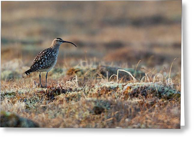 Bristled-thighed Curlew Greeting Card by Ken Archer