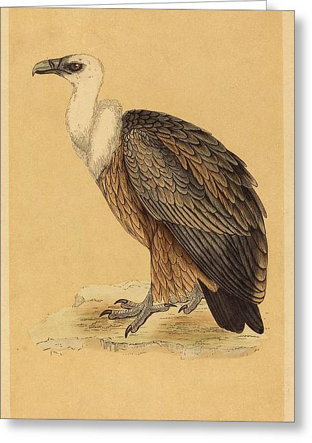 British 19th Century, Griffon Vulture Greeting Card