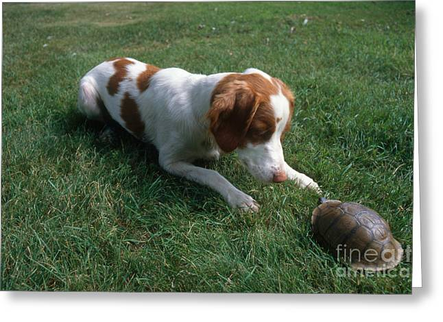 Brittany Spaniel And Box Turtle Greeting Card