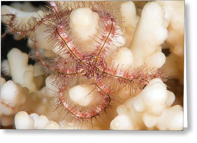 Brittlestar On A Reef Greeting Card by Louise Murray