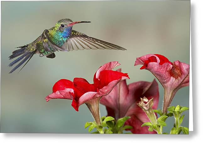 Broad Billed Hummingbird 4 Greeting Card