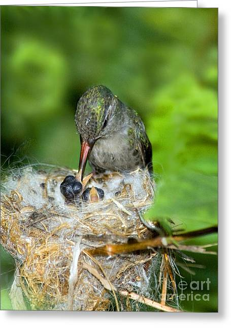 Broad-billed Hummingbird And Young Greeting Card by Anthony Mercieca