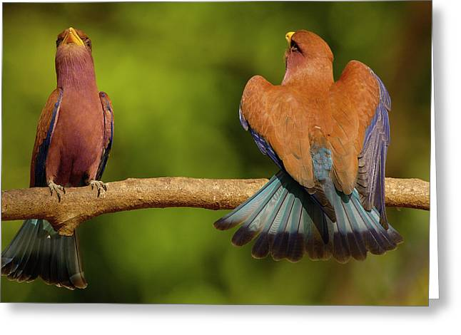 Broad-billed Roller Courtship Greeting Card by Pete Oxford