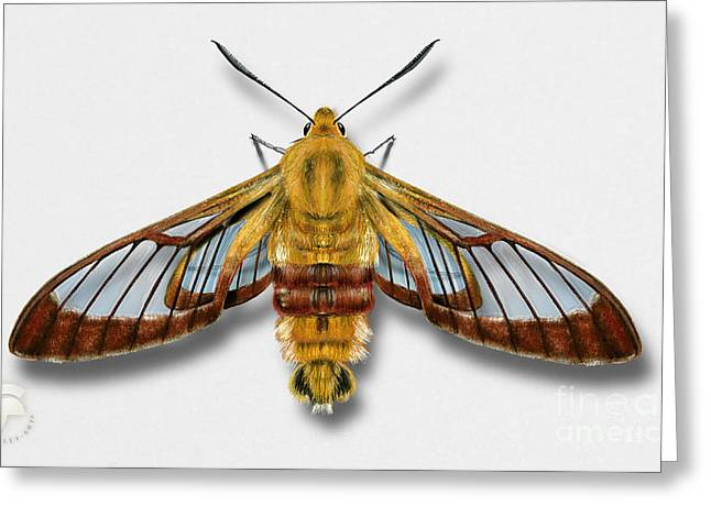 Broad-bordered Bee Hawk Moth Butterfly - Hemaris Fuciformis Naturalistic Painting -nettersheim Eifel Greeting Card
