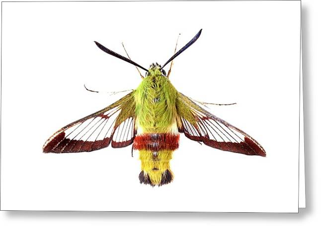 Broad-bordered Bee Hawkmoth Greeting Card