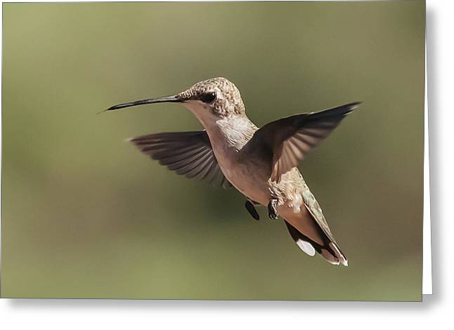 Broad-tailed Hummingbird 1 Greeting Card