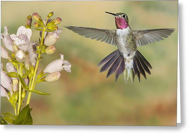 Broad Tailed Hummingbird 2 Greeting Card
