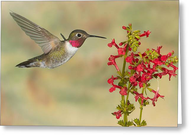Broad-tailed Hummingbird 5 Greeting Card