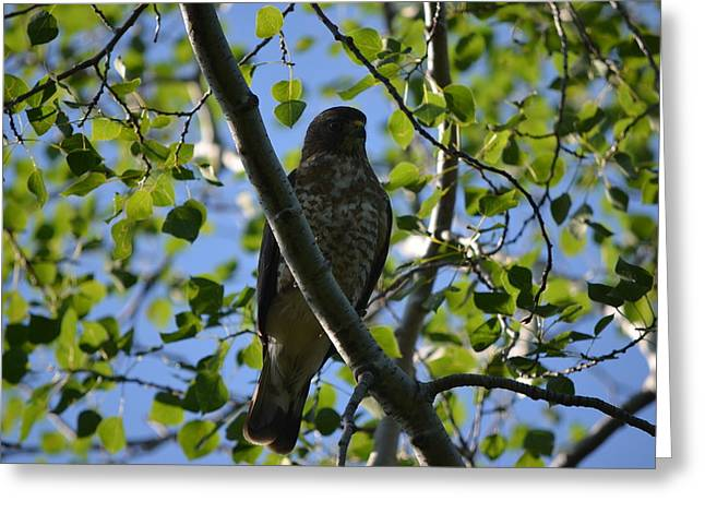 Greeting Card featuring the photograph Broad-winged Hawk by James Petersen