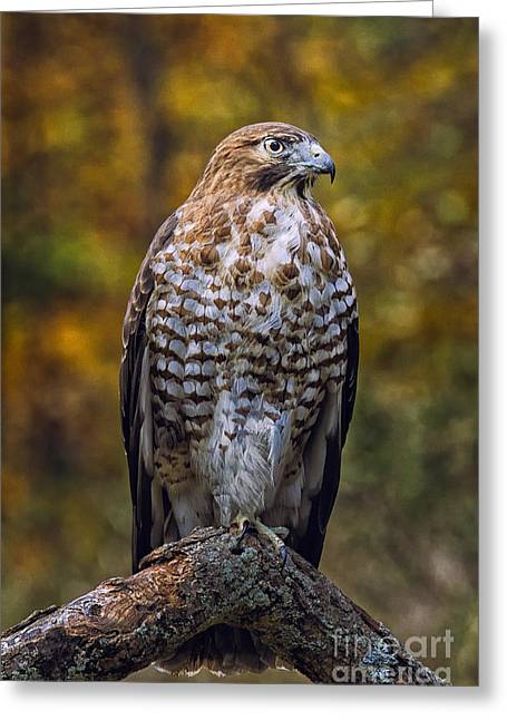 Broad Winged Hawk Greeting Card by Todd Bielby