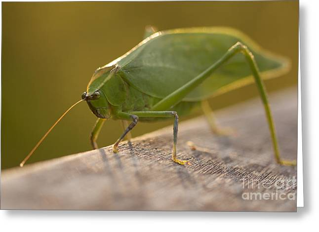 Broad-winged Katydid Greeting Card by Meg Rousher