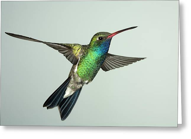 Broadbill Hummingbird Alternate Wing Pose Greeting Card