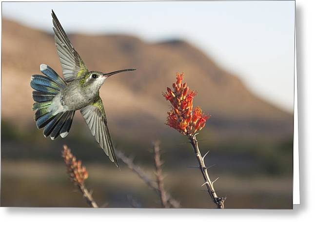 Broadbill Hummingbird And Octicillo Greeting Card